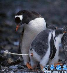 How do penguin poo?