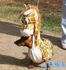 A Giraffe Wiener Dog!