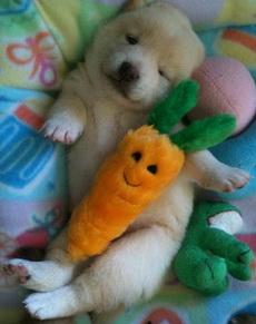 可爱狗狗睡觉需要胡萝卜