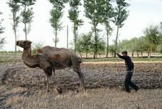 骆驼也能耕种
