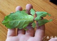 叶子做的螳螂