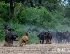 狮子的战斗力原来不怎么样呀