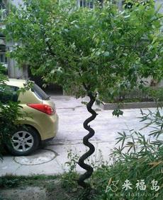 這顆樹長的真糾結