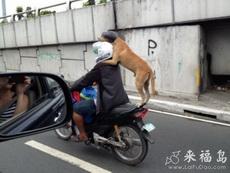 狗狗戴着头盔坐车太搞笑了