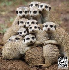 Cute family of Meerkat