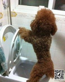我家泰迪都这样上厕所的