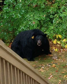节假日过后,动物园的黑熊君!