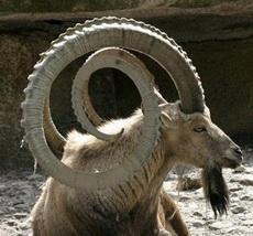 这羊角,太霸气了
