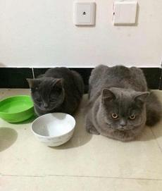 网购的猫粮还没到,这俩货气坏了