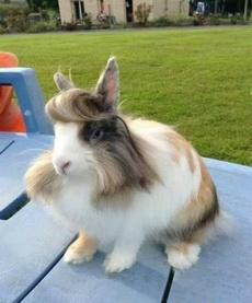 做了美发的兔子,有够帅的!