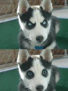 有一只目光凶悍的小哈士奇,被丧心病狂地PS成了熊猫级的萌物