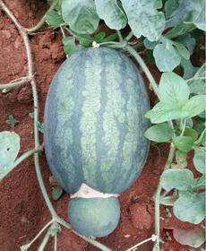 这西瓜是要生的节奏呀!