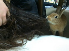 这傻兔子把头发和做窝的材料搞混了!