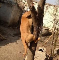 听说过狗急跳墙的,没见过狗急上树的!