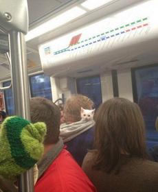 早上出门上班没发现他家猫在自己帽子里睡着了,就这么的上了地铁,途中小家伙睡醒了,支楞着小脑瓜呆呆的左看右看不知道自己在哪里