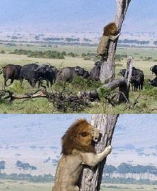 作为草原之王的大狮子你竟然这样子。