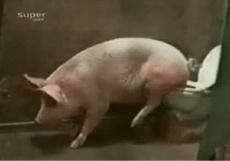 这年头猪都会上厕所了