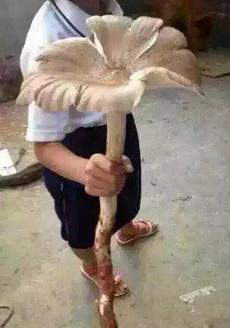 好大的菌子!