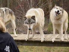 一只是狼,一只是二哈