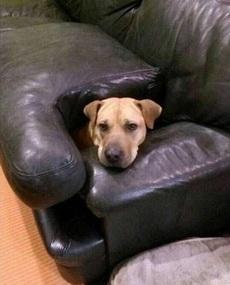 这傻狗,主人不允许它在沙发上躺着,于是它就这样