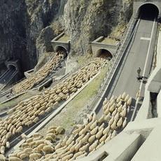 好壮观的放羊队伍