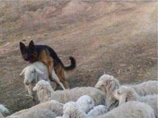 你就是这么给我放羊的