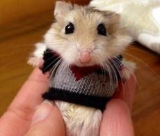 给小仓鼠织了件小衣服,萌哭了