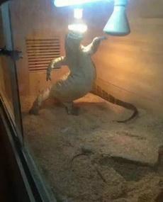 蜥蜴在笼子里的生活