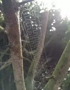 这应该是蜘蛛届的艺术家