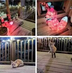 我家附近的小狐狸似乎爱上了我家的装饰彩灯!哎,没有结果滴爱情!