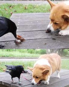 遇到一只非常熱心的烏鴉,叼來蟲子分給狗狗吃,然而狗狗被迫吃完后是崩潰的