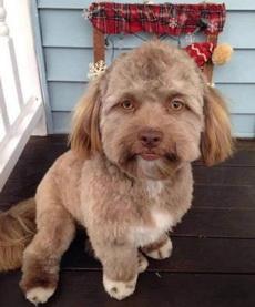 家养的一只长着人脸的泰迪,总觉得它不是一条狗