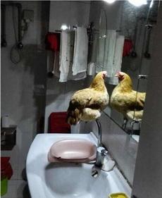 一只天天被自己帅醒的鸡
