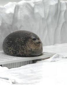海豹圆又圆