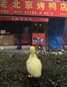 这是一只抑郁症想自杀的鸭子吧