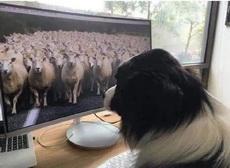 人家牧羊犬都在线办公了
