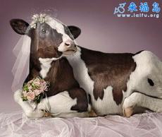 La boda de la vaca lechera