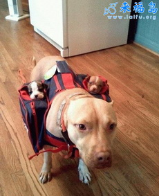 狗狗也用育儿袋啦
