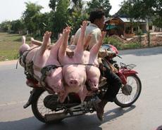 Transportation of pigs