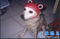 小狗的安全帽