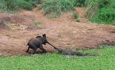 小象悲剧了