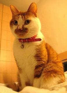 自养卫生巾嘴虎斑猫,只作欣赏,非卖品!