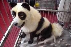 一哥们在黑市花8000元买了一只大熊猫