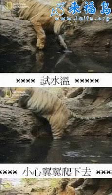 老虎也懂泡澡