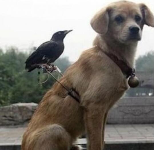 第一次看到,鸟遛狗[动物图片]