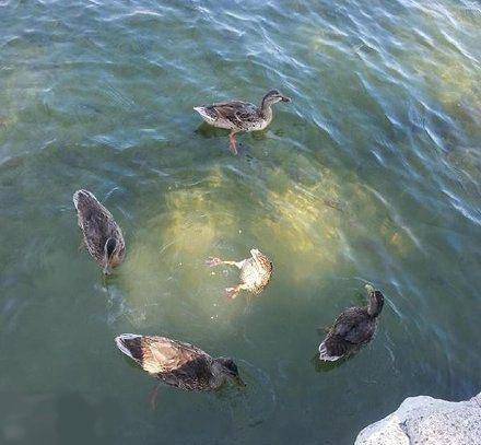 中间的那只鸭子在干什么呢?