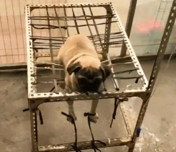 狗狗不肯输液,一进宠物医院就被绑了