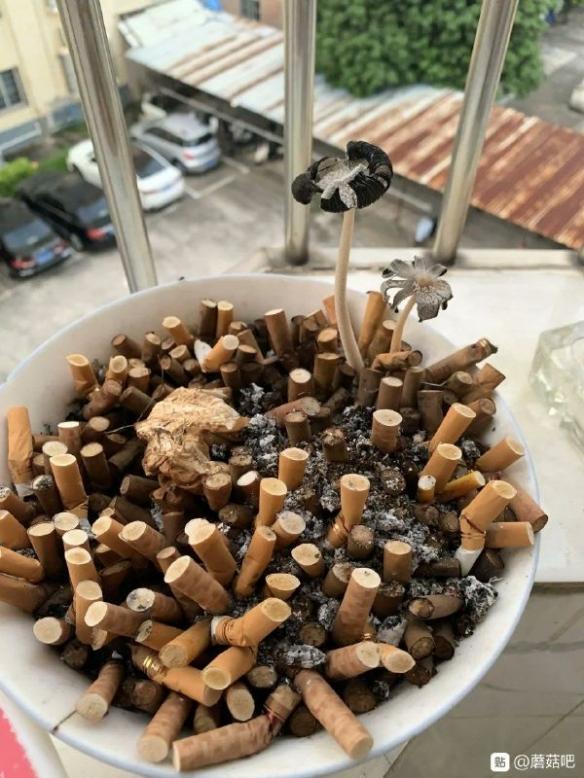 煙灰缸里長得自然是香菇